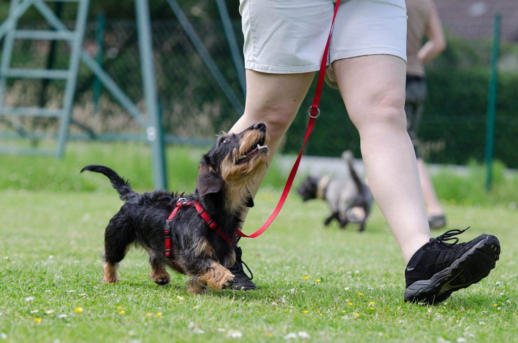 A dog on a leash looking up at it's owner to represent dog training affiliate programs